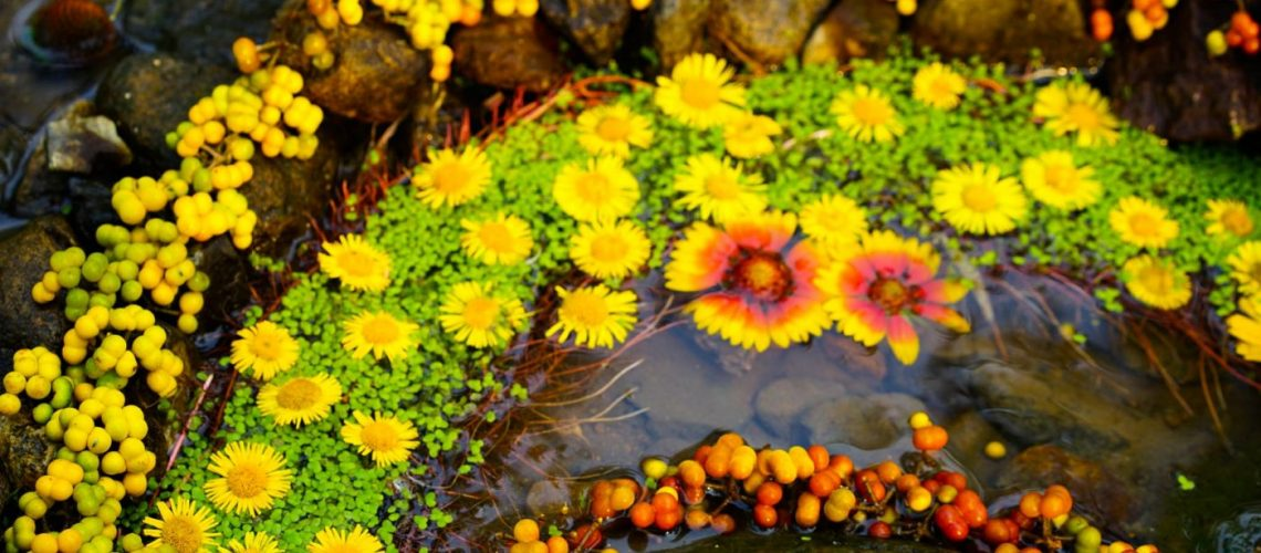 Flower circle on the water kept by stones from the brute river. Yellow green and brown. Land Art at its best!